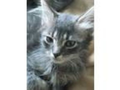 Adopt Mr Puff a Gray, Blue or Silver Tabby Domestic Mediumhair (medium coat) cat