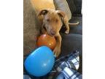 Adopt Jenny a Tan/Yellow/Fawn - with White Labrador Retriever / Hound (Unknown