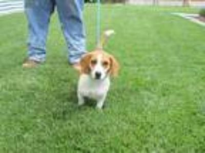 Adopt PENELOPE a Hound (Unknown Type) / Mixed dog in Lindsay, CA (25328558)