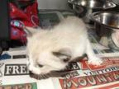 Adopt 41623427 a Cream or Ivory Siamese / Domestic Shorthair / Mixed cat in
