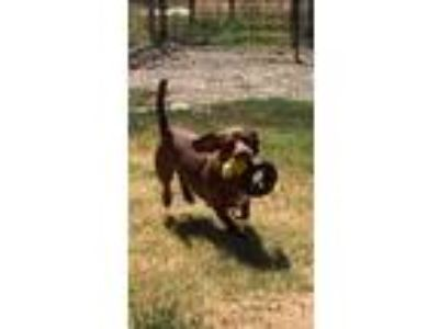 Adopt JUNO a Brown/Chocolate - with White Dachshund / Labrador Retriever / Mixed