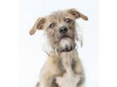 Adopt Pepper a Wirehaired Terrier, Cairn Terrier