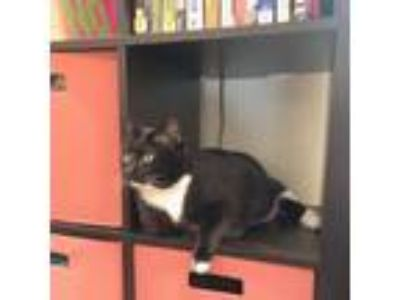 Adopt Valentina a All Black Domestic Shorthair / Domestic Shorthair / Mixed cat