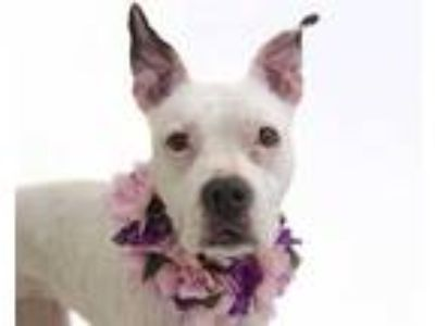 Adopt PERLA a White - with Black Boxer / Mixed dog in Orlando, FL (25555204)