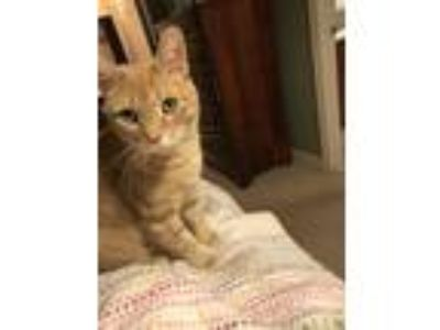 Adopt Cinder a Orange or Red Tabby American Shorthair / Mixed cat in