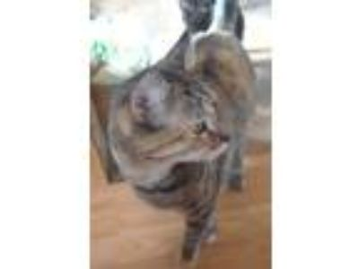 Adopt cleo a Spotted Tabby/Leopard Spotted Domestic Shorthair (short coat) cat