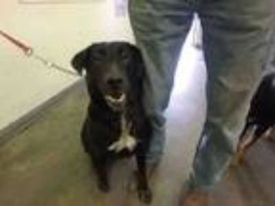 Adopt SUE a Mixed Breed, Labrador Retriever