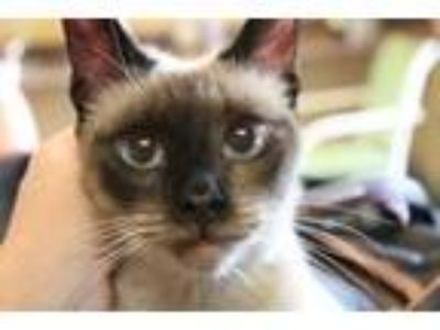Adopt Mary a Siamese, Domestic Short Hair