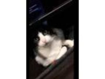 Adopt ZZ-Angel - COURTESY POST - BONDED WITH SCARLETT a Domestic Short Hair
