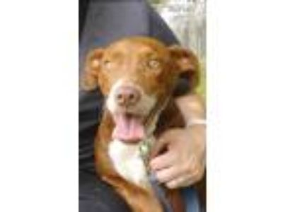 Adopt Ron a Red/Golden/Orange/Chestnut Black Mouth Cur / Mixed dog in
