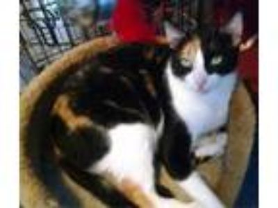 Adopt Kiwi a Domestic Short Hair, Calico