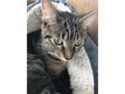Adopt Bella * a Spotted Tabby/Leopard Spotted Domestic Shorthair / Mixed cat in