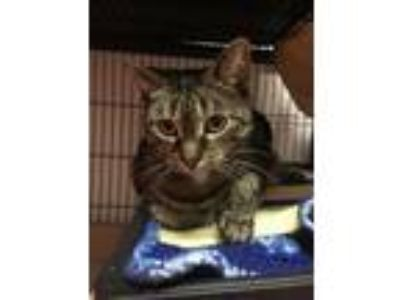 Adopt Miss Dolly a Domestic Short Hair