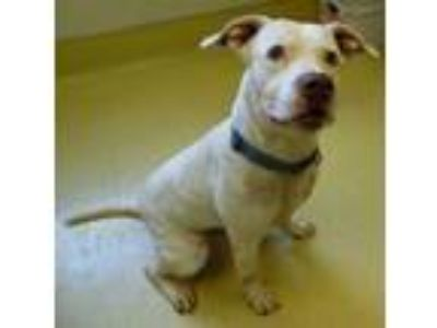 Adopt Pablo a Pit Bull Terrier, Boxer