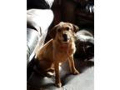 Adopt Blitz a Australian Terrier, Beagle