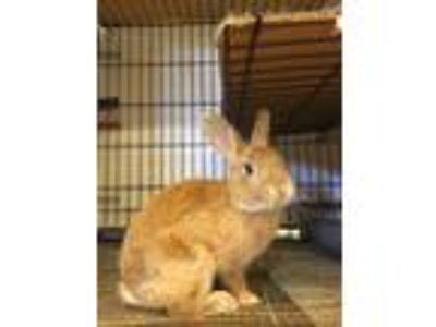 Adopt Clark a Other/Unknown / Mixed (short coat) rabbit in Escondido
