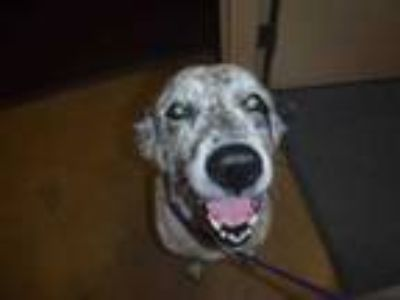 Adopt HARLEY a White - with Black Great Pyrenees / Border Collie / Mixed dog in