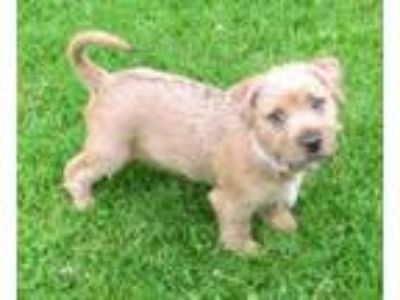 Adopt Toffee a Yorkshire Terrier, Poodle