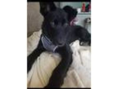 Adopt Denzel Drainage Ditch a Labrador Retriever / Border Collie / Mixed dog in