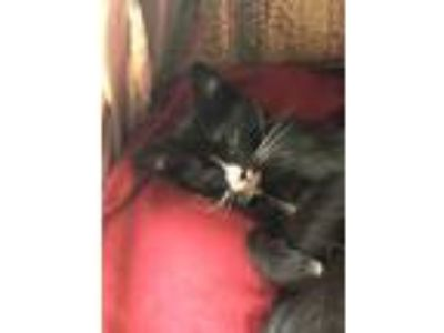 Adopt Otis a Black & White or Tuxedo Domestic Shorthair (short coat) cat in