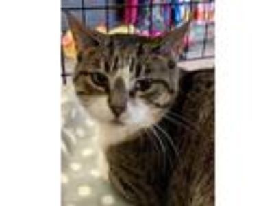 Adopt Celine - Polite and Quiet a Brown Tabby Domestic Shorthair / Mixed (short