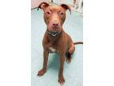 Adopt *MABEL a Red/Golden/Orange/Chestnut American Pit Bull Terrier / Mixed dog