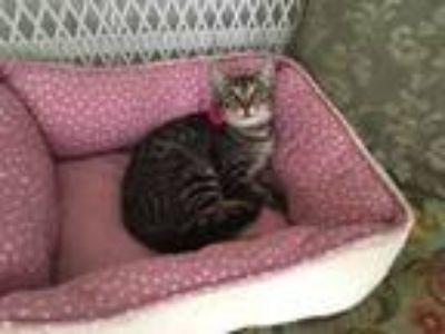 Adopt Priscilla a Brown Tabby Domestic Shorthair (short coat) cat in Metairie