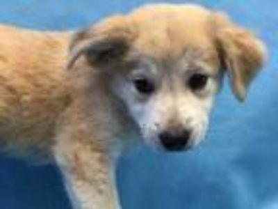 Adopt Darla a Red/Golden/Orange/Chestnut Labrador Retriever / Mixed dog in
