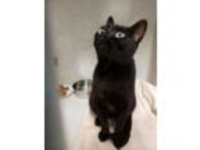 Adopt Friday a Domestic Short Hair