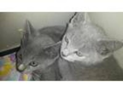Adopt Chip a Gray, Blue or Silver Tabby Domestic Shorthair (short coat) cat in