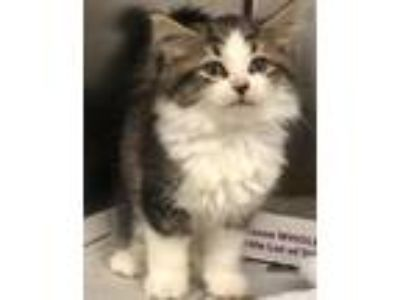 Adopt Butterball a Domestic Mediumhair / Mixed cat in Homer Glen, IL (25566265)