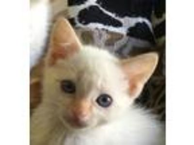 Adopt Joule a Cream or Ivory Siamese / Mixed (short coat) cat in San Marcos