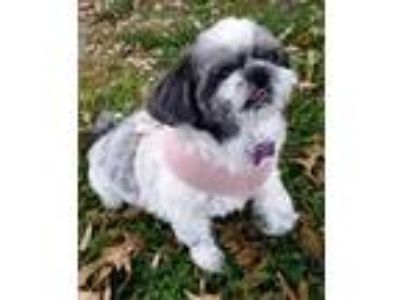 Adopt Benji a Lhasa Apso / Mixed dog in Springfield, VA (24991370)