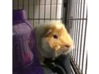Adopt Harry a Guinea Pig (medium coat) small animal in Pittsburgh, PA (25259438)