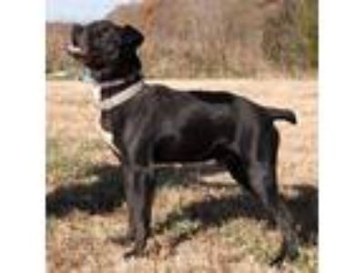 Adopt Sparky a Black - with White Boxer / Mixed dog in Midlothian, VA (8453071)