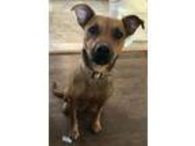 Adopt Amy a Tan/Yellow/Fawn Labrador Retriever / Mixed dog in Long Beach