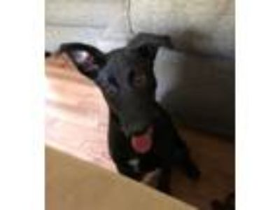Adopt Annie a Black Labrador Retriever / German Shepherd Dog / Mixed dog in