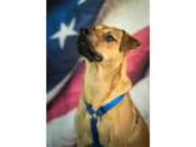 Adopt Scout~19/20-0001 a Tan/Yellow/Fawn Rhodesian Ridgeback / Mixed dog in