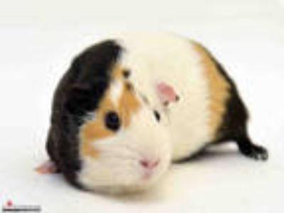 Adopt PELUSA a Brown or Chocolate Guinea Pig / Mixed small animal in San