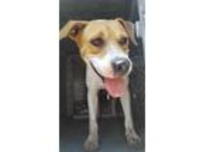 Adopt Adeen a White American Pit Bull Terrier / Mixed dog in Edinburg