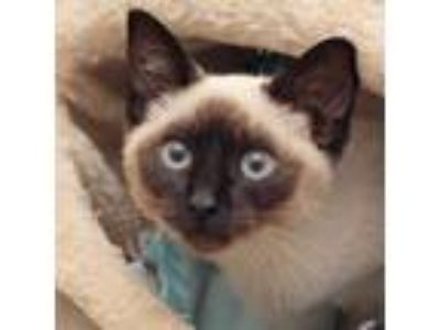Adopt Sky a Brown or Chocolate Siamese / Domestic Shorthair / Mixed cat in San