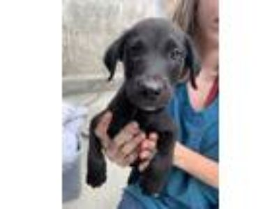 Adopt Dill a Black Terrier (Unknown Type, Small) / Mixed dog in St.