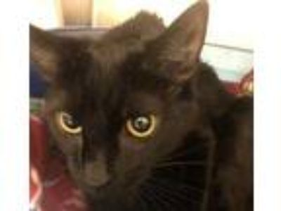 Adopt Betty Crocker a All Black Domestic Shorthair / Domestic Shorthair / Mixed