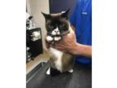 Adopt Fin a Brown or Chocolate Siamese / Domestic Shorthair / Mixed cat in