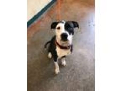 Adopt Taylee a Black American Pit Bull Terrier / Terrier (Unknown Type
