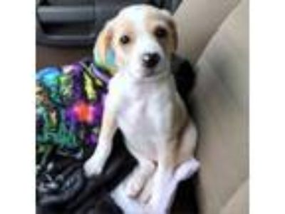 Adopt Aurora a Tan/Yellow/Fawn Golden Retriever dog in Helena, AL (25542482)
