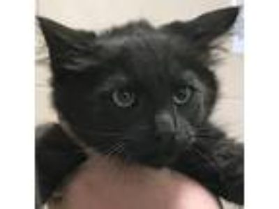 Adopt Rickey *Available Thursday 6/13 a All Black Domestic Shorthair / Domestic