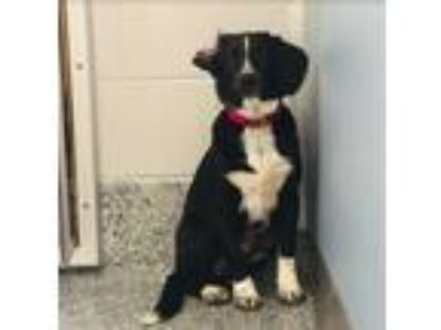 Adopt Dolce a Labrador Retriever, Border Collie