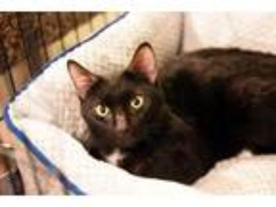Adopt Mittens a Domestic Short Hair