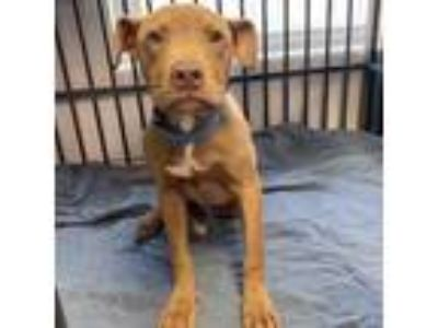 Adopt Wiggle a Pit Bull Terrier, Mixed Breed